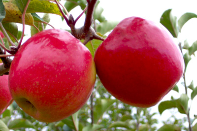 two organic apples pink lady hanging on tree